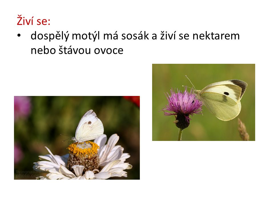 Živí se: dospělý motýl má sosák a živí se nektarem nebo štávou ovoce