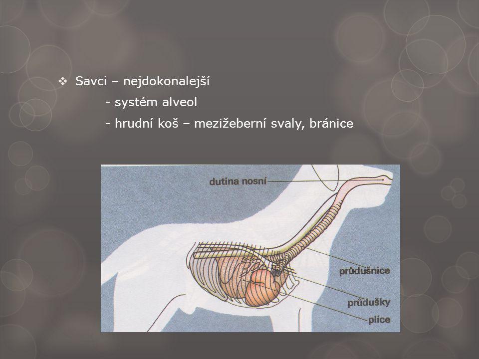  Savci – nejdokonalejší - systém alveol - hrudní koš – mezižeberní svaly, bránice
