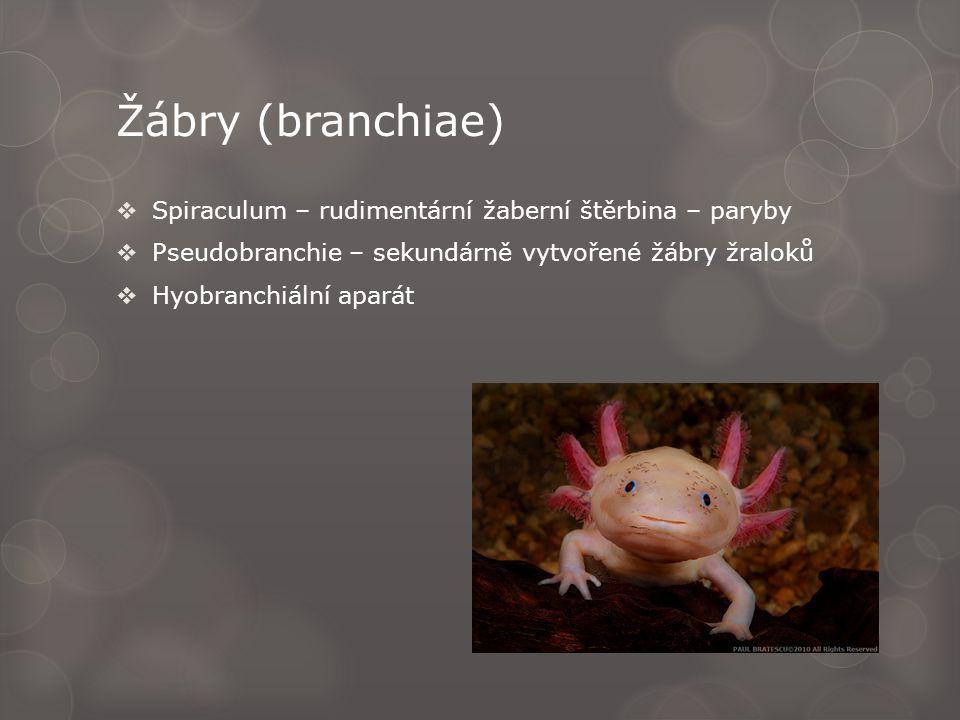 Žábry (branchiae)  Spiraculum – rudimentární žaberní štěrbina – paryby  Pseudobranchie – sekundárně vytvořené žábry žraloků  Hyobranchiální aparát