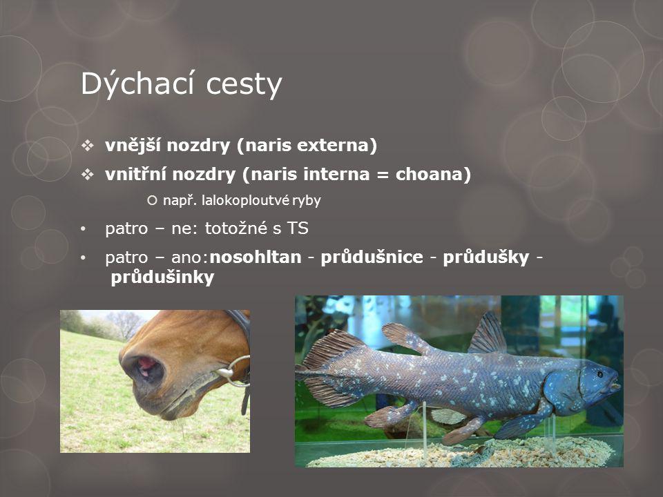 Dýchací cesty  vnější nozdry (naris externa)  vnitřní nozdry (naris interna = choana)  např. lalokoploutvé ryby patro – ne: totožné s TS patro – an