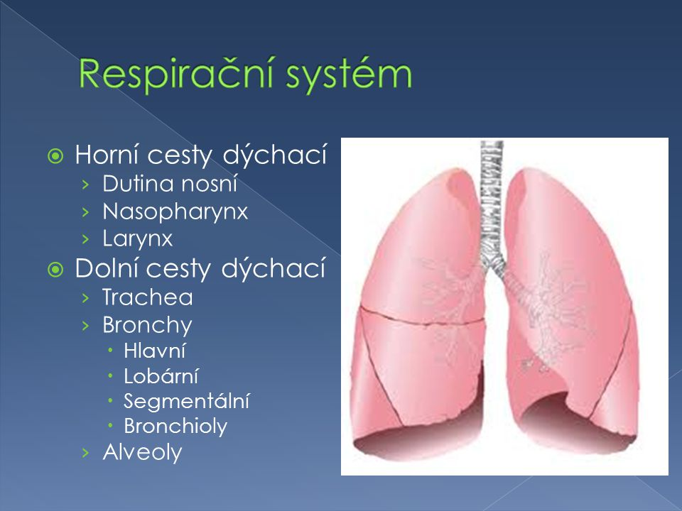  Horní cesty dýchací › Dutina nosní › Nasopharynx › Larynx  Dolní cesty dýchací › Trachea › Bronchy  Hlavní  Lobární  Segmentální  Bronchioly › Alveoly