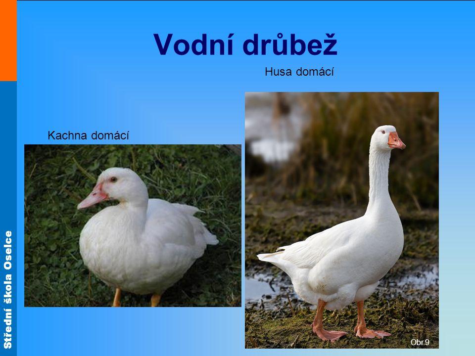 Střední škola Oselce Vodní drůbež Kachna domácí Husa domácí Obr.9