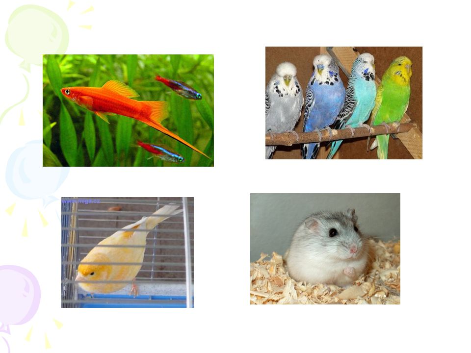 Zdomácňování živočichů = domestikace Šlechtění živočichů - záměrné křížení jedinců jednoho druhu ale různého vzhledu → vznik nových plemen
