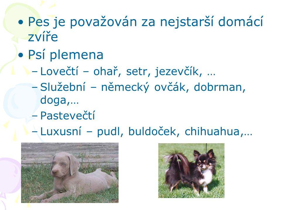 Pes je považován za nejstarší domácí zvíře Psí plemena –Lovečtí – ohař, setr, jezevčík, … –Služební – německý ovčák, dobrman, doga,… –Pastevečtí –Luxusní – pudl, buldoček, chihuahua,…