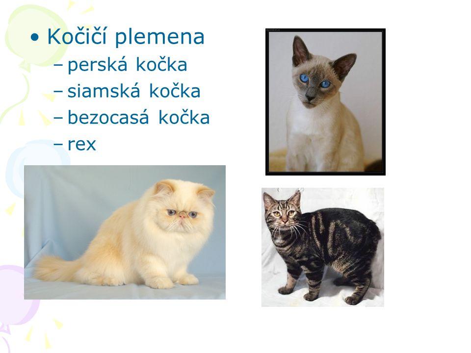 Kočičí plemena –perská kočka –siamská kočka –bezocasá kočka –rex