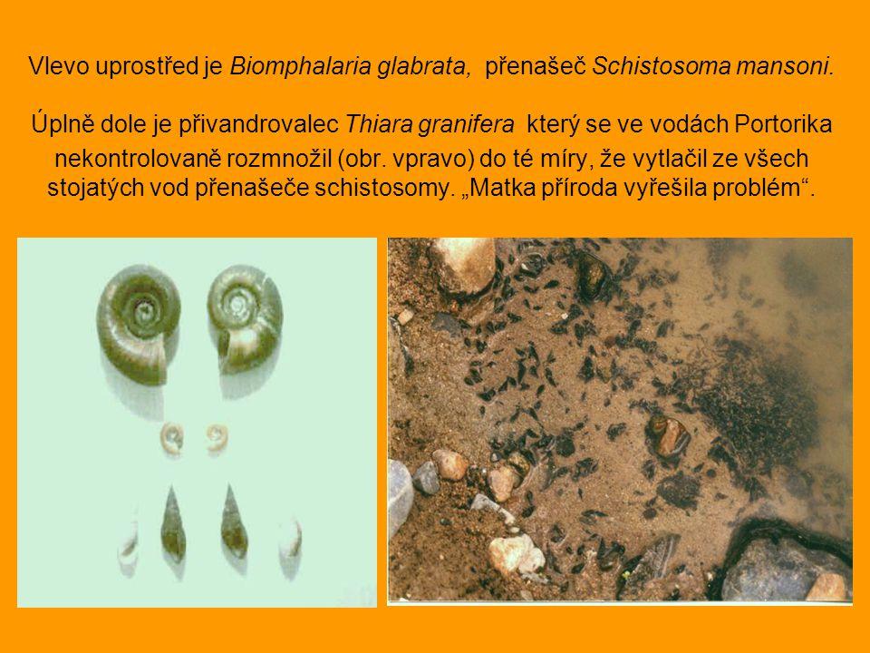 Vlevo uprostřed je Biomphalaria glabrata, přenašeč Schistosoma mansoni. Úplně dole je přivandrovalec Thiara granifera který se ve vodách Portorika nek