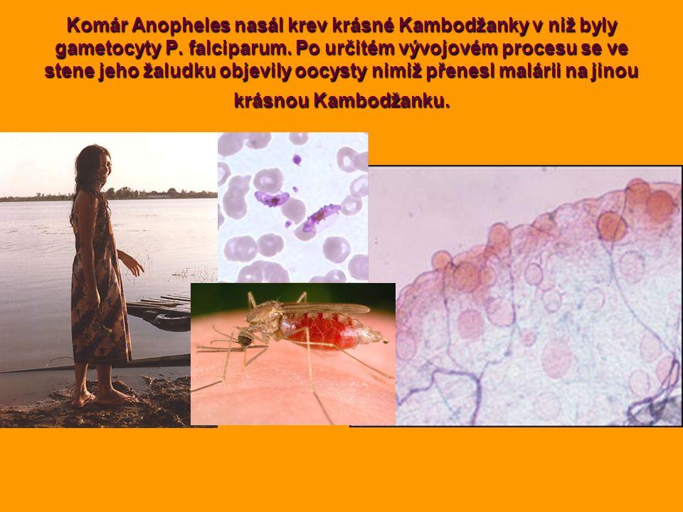 Komár Anopheles nasál krev krásné Kambodžanky v niž byly gametocyty P. falciparum. Po určitém vývojovém procesu se ve stene jeho žaludku objevily oocy