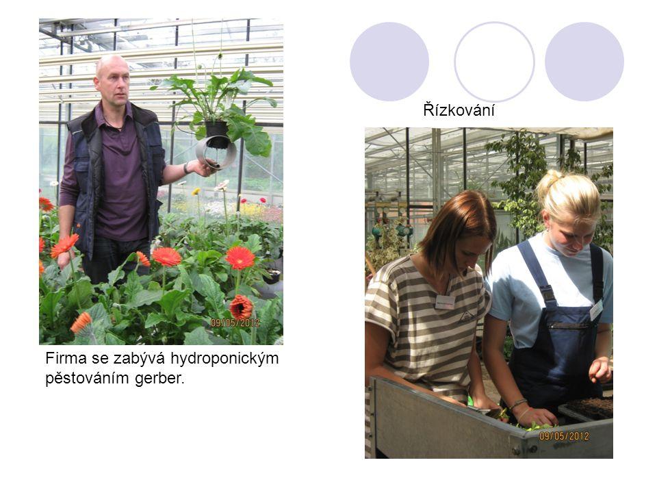 Firma se zabývá hydroponickým pěstováním gerber. Řízkování