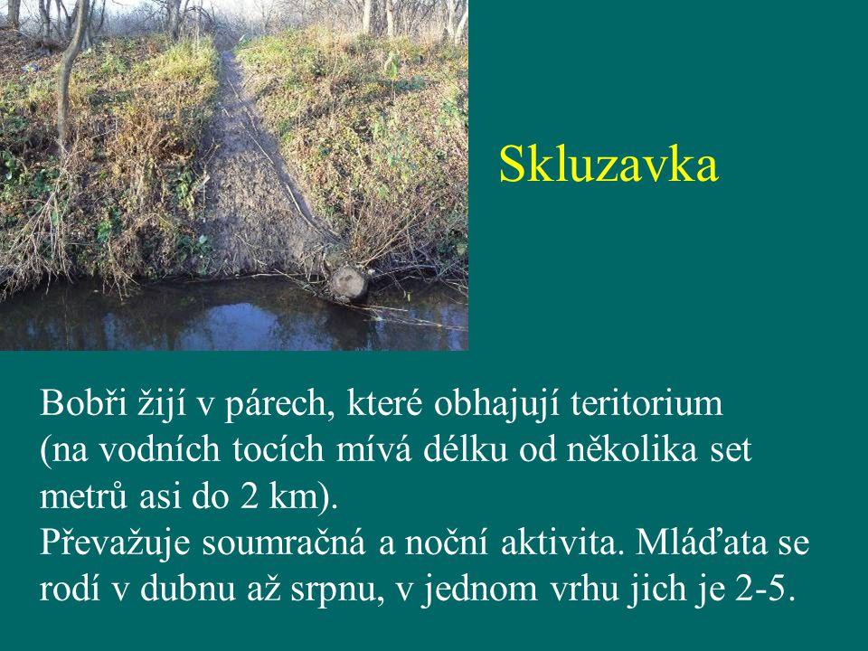Skluzavka Bobři žijí v párech, které obhajují teritorium (na vodních tocích mívá délku od několika set metrů asi do 2 km). Převažuje soumračná a noční