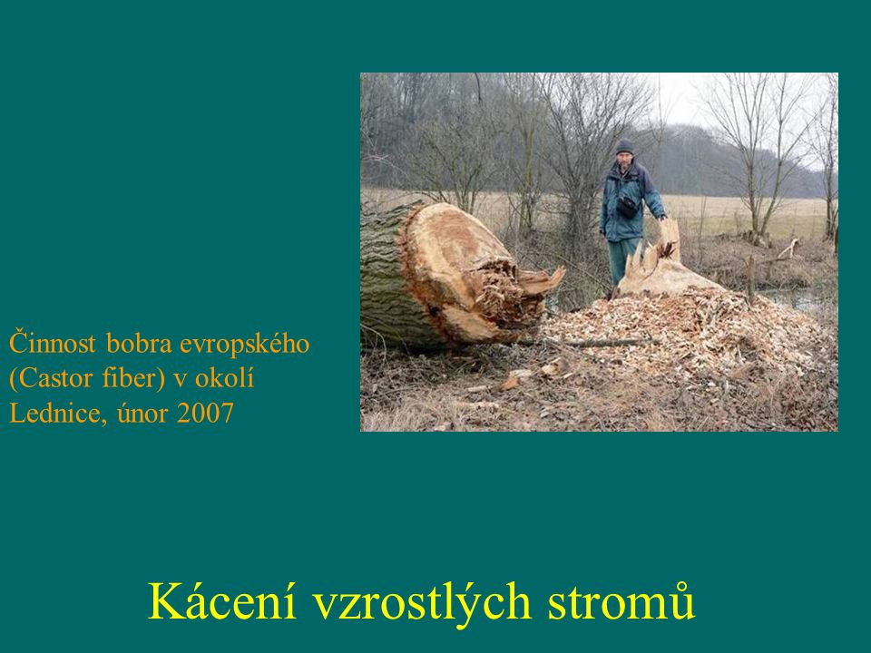 Kácení vzrostlých stromů Činnost bobra evropského (Castor fiber) v okolí Lednice, únor 2007