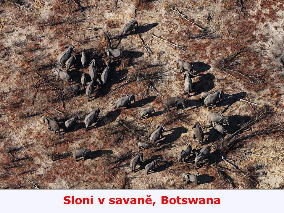 Sloni v savaně, Botswana