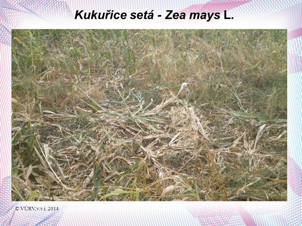 © VÚRV,v.v.i. 2014 Kukuřice setá - Zea mays L.