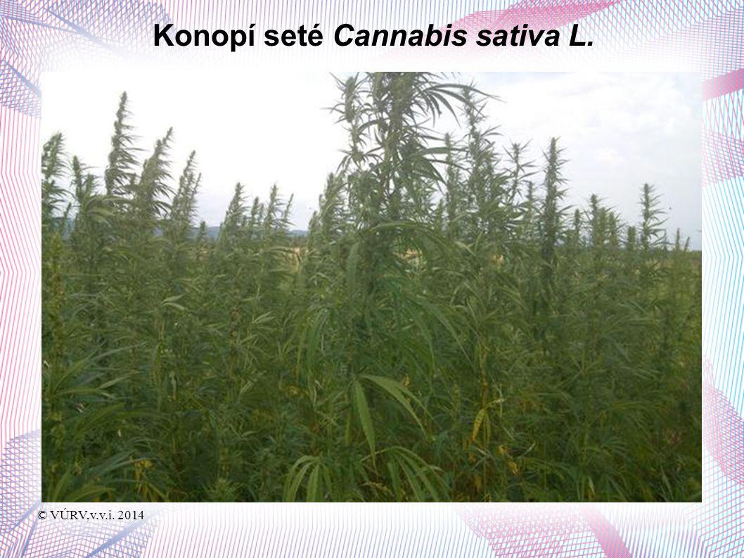 © VÚRV,v.v.i. 2014 Konopí seté Cannabis sativa L.