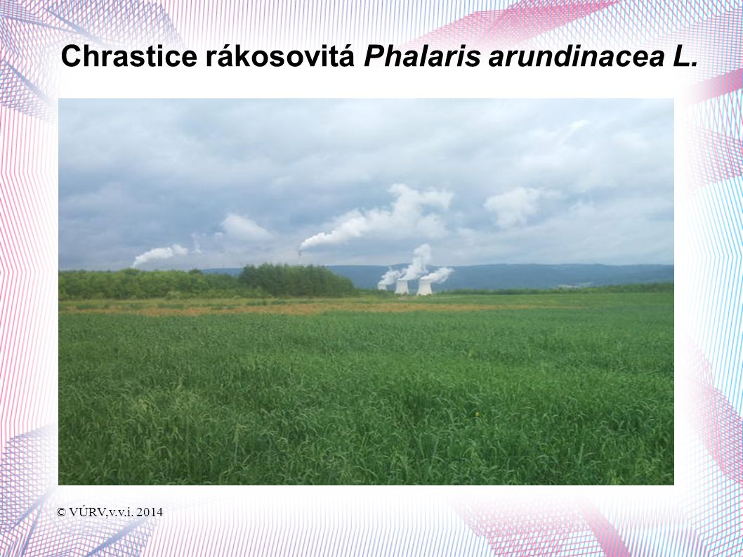 © VÚRV,v.v.i. 2014 Chrastice rákosovitá Phalaris arundinacea L.