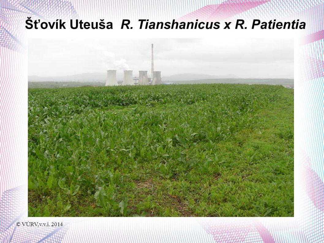 © VÚRV,v.v.i. 2014 Šťovík Uteuša R. Tianshanicus x R. Patientia