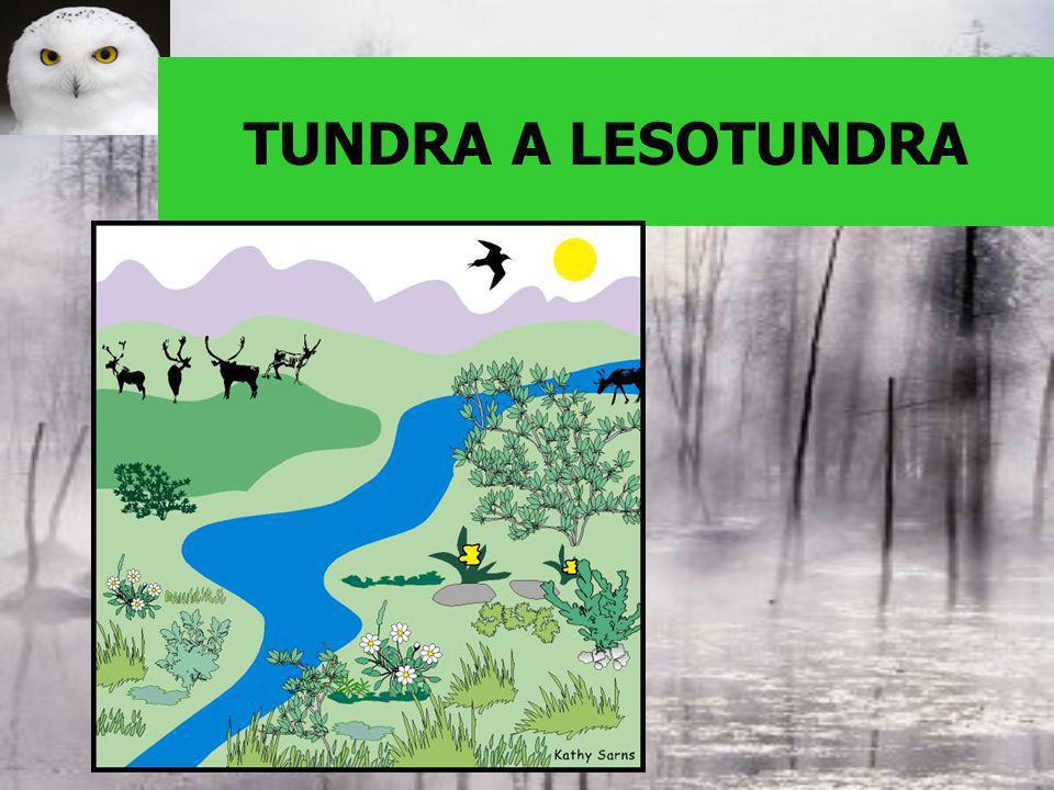 LESOTUNDRA –Zakrslé stromy –Keříčková tundra – zakrslé břízy a vrby TUNDRA –lišejníky –Mechy –rašeliniště