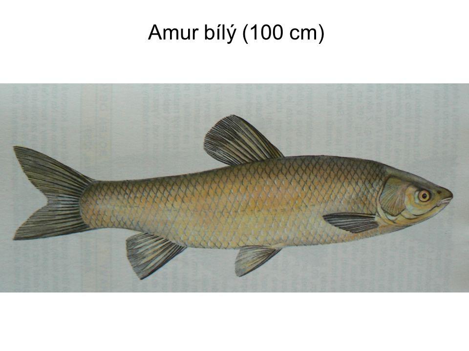 Amur bílý (100 cm)