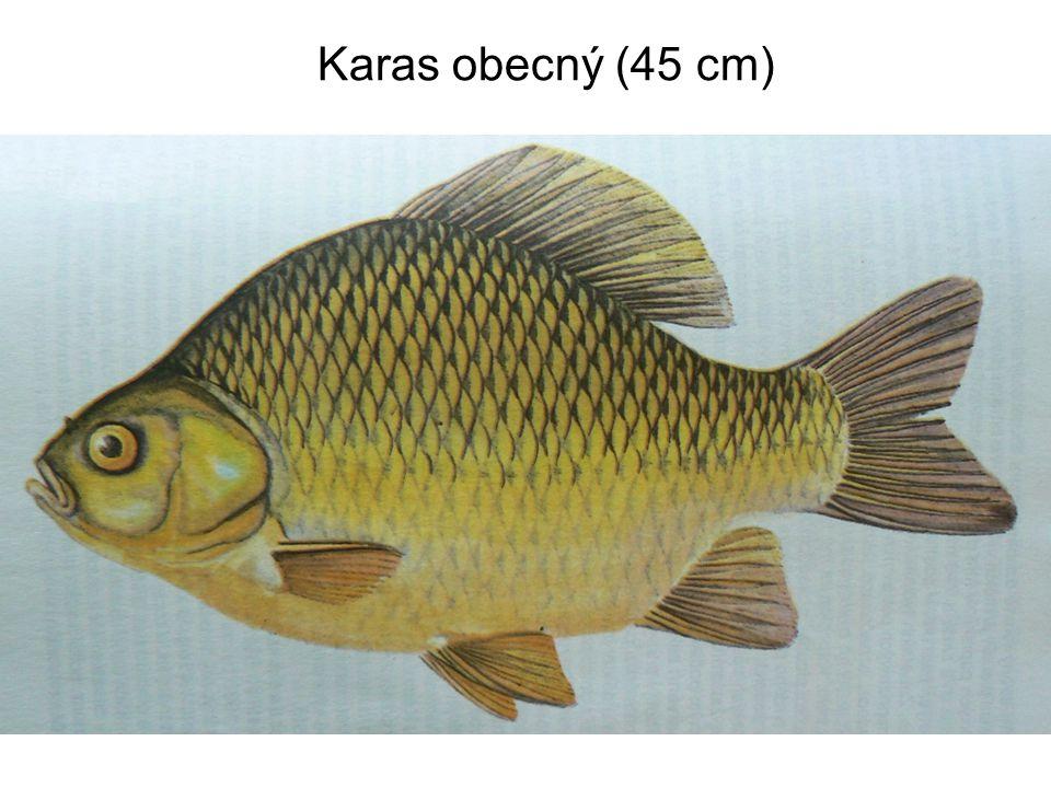 Karas obecný (45 cm)