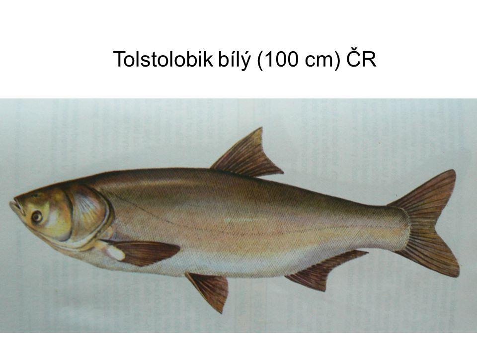 Tolstolobik bílý (100 cm) ČR