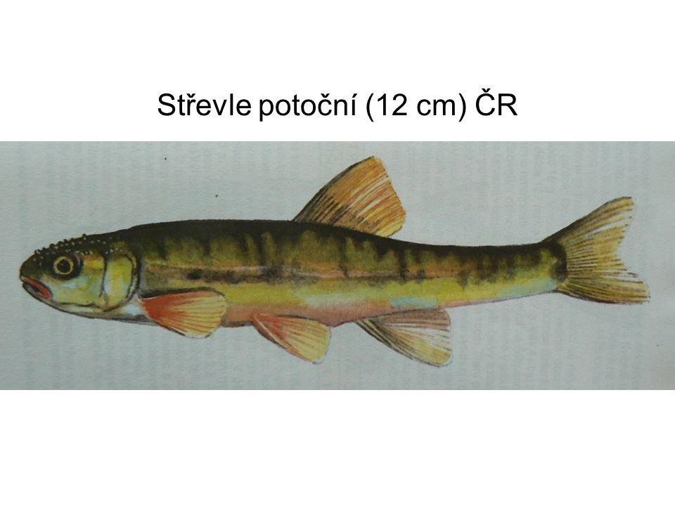 Perlín ostrobřichý (40 cm)
