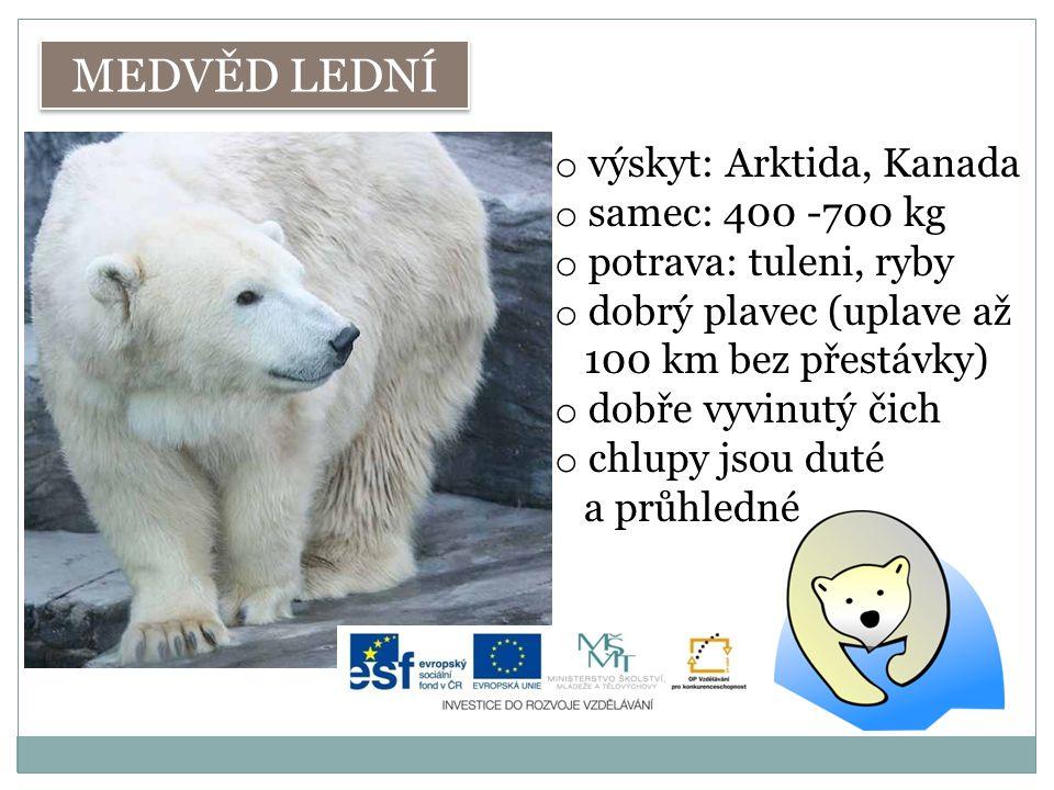 MEDVĚD LEDNÍ o výskyt: Arktida, Kanada o samec: 400 -700 kg o potrava: tuleni, ryby o dobrý plavec (uplave až 100 km bez přestávky) o dobře vyvinutý čich o chlupy jsou duté a průhledné