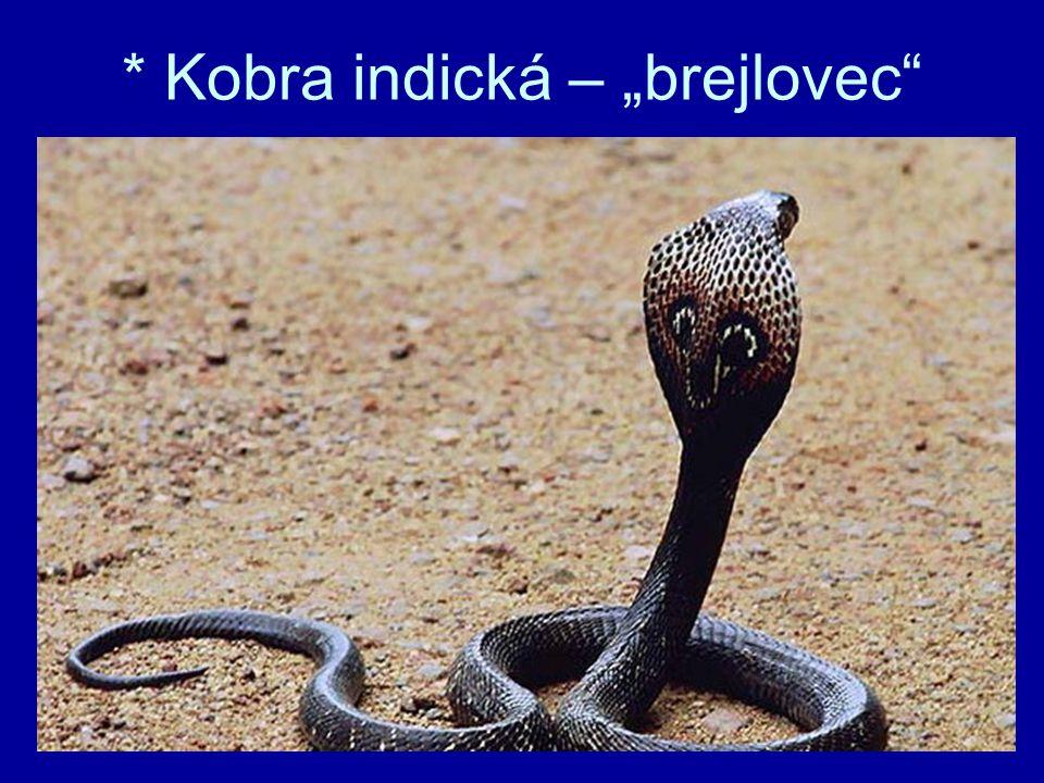 "* Kobra indická – ""brejlovec"""