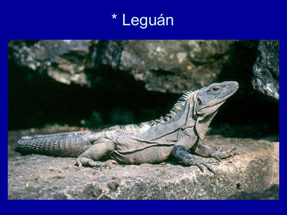 * Leguán