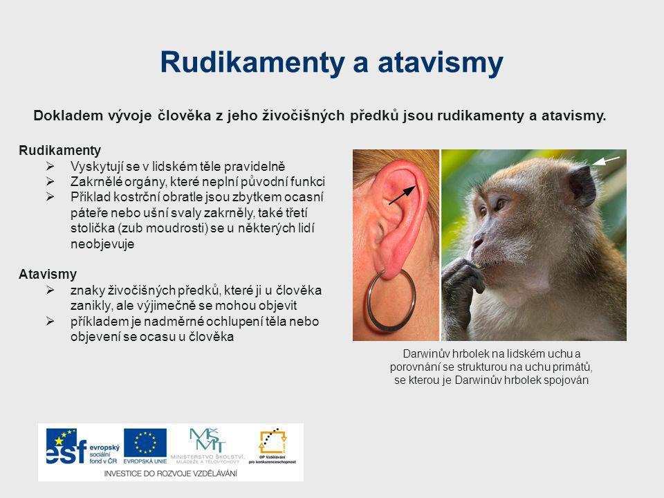 Rudikamenty a atavismy Rudikamenty  Vyskytují se v lidském těle pravidelně  Zakrnělé orgány, které neplní původní funkci  Přiklad kostrční obratle jsou zbytkem ocasní páteře nebo ušní svaly zakrněly, také třetí stolička (zub moudrosti) se u některých lidí neobjevuje Atavismy  znaky živočišných předků, které ji u člověka zanikly, ale výjimečně se mohou objevit  příkladem je nadměrné ochlupení těla nebo objevení se ocasu u člověka Dokladem vývoje člověka z jeho živočišných předků jsou rudikamenty a atavismy.