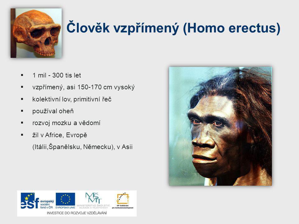 Člověk vzpřímený (Homo erectus)  1 mil - 300 tis let  vzpřímený, asi 150-170 cm vysoký  kolektivní lov, primitivní řeč  používal oheň  rozvoj moz