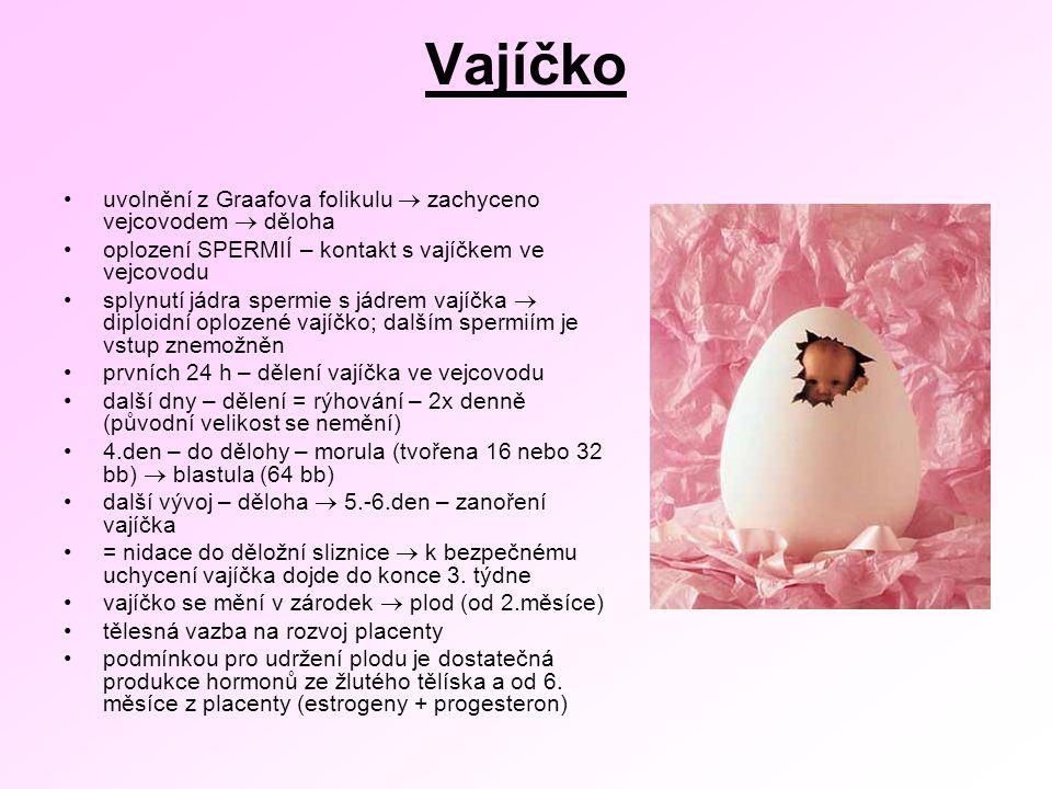 Vajíčko uvolnění z Graafova folikulu  zachyceno vejcovodem  děloha oplození SPERMIÍ – kontakt s vajíčkem ve vejcovodu splynutí jádra spermie s jádrem vajíčka  diploidní oplozené vajíčko; dalším spermiím je vstup znemožněn prvních 24 h – dělení vajíčka ve vejcovodu další dny – dělení = rýhování – 2x denně (původní velikost se nemění) 4.den – do dělohy – morula (tvořena 16 nebo 32 bb)  blastula (64 bb) další vývoj – děloha  5.-6.den – zanoření vajíčka = nidace do děložní sliznice  k bezpečnému uchycení vajíčka dojde do konce 3.