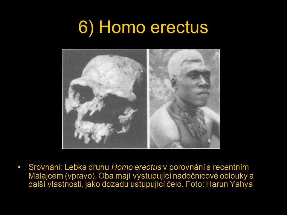 6) Homo erectus Srovnání: Lebka druhu Homo erectus v porovnání s recentním Malajcem (vpravo). Oba mají vystupující nadočnicové oblouky a další vlastno