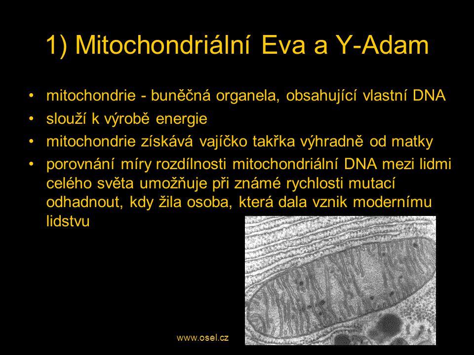 1) Mitochondriální Eva a Y-Adam mitochondrie - buněčná organela, obsahující vlastní DNA slouží k výrobě energie mitochondrie získává vajíčko takřka výhradně od matky porovnání míry rozdílnosti mitochondriální DNA mezi lidmi celého světa umožňuje při známé rychlosti mutací odhadnout, kdy žila osoba, která dala vznik modernímu lidstvu www.osel.cz