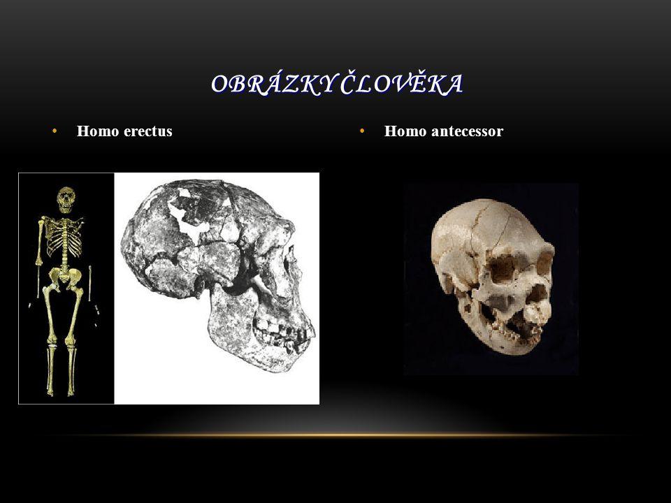 Homo erectus Homo antecessor OBRÁZKY ČLOVĚKA