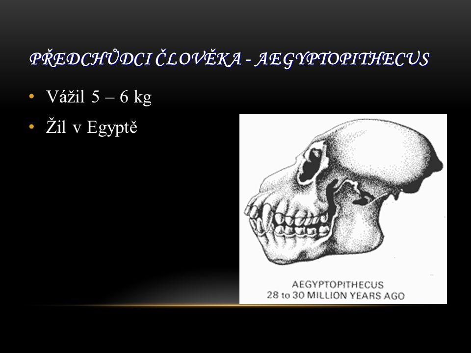 PŘEDCHŮDCI ČLOVĚKA - AEGYPTOPITHECUS Vážil 5 – 6 kg Žil v Egyptě