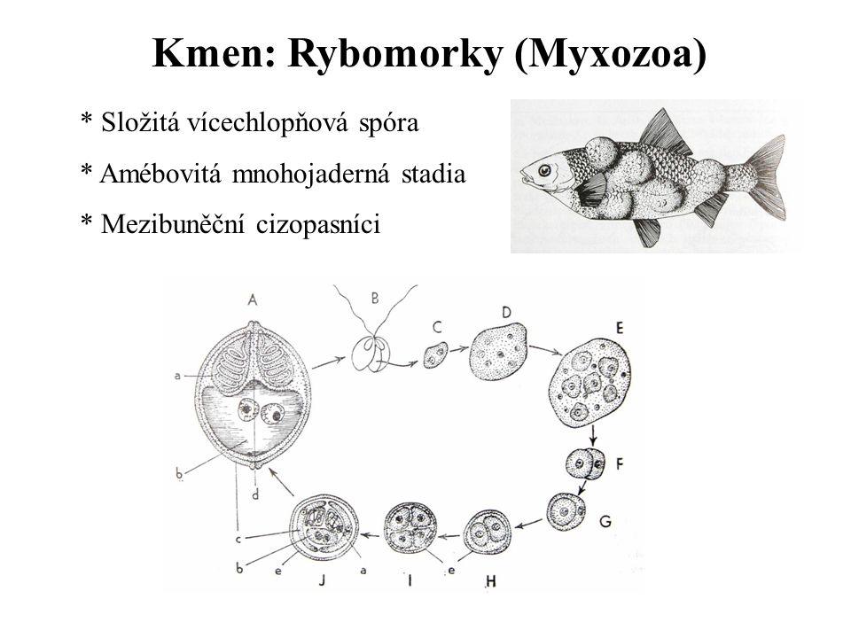 Kmen: Rybomorky (Myxozoa) * Složitá vícechlopňová spóra * Amébovitá mnohojaderná stadia * Mezibuněční cizopasníci