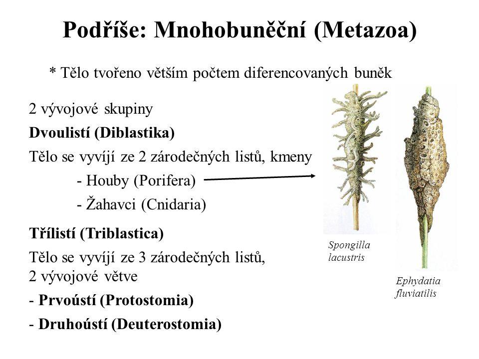 Podříše: Mnohobuněční (Metazoa) * Tělo tvořeno větším počtem diferencovaných buněk 2 vývojové skupiny Dvoulistí (Diblastika) Tělo se vyvíjí ze 2 zárod