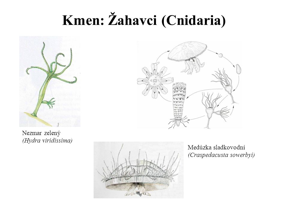 Kmen: Žahavci (Cnidaria) Nezmar zelený (Hydra viridissima) Medúzka sladkovodní (Craspedacusta sowerbyi)