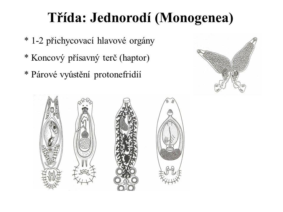 Třída: Jednorodí (Monogenea) * 1-2 přichycovací hlavové orgány * Koncový přísavný terč (haptor) * Párové vyústění protonefridií