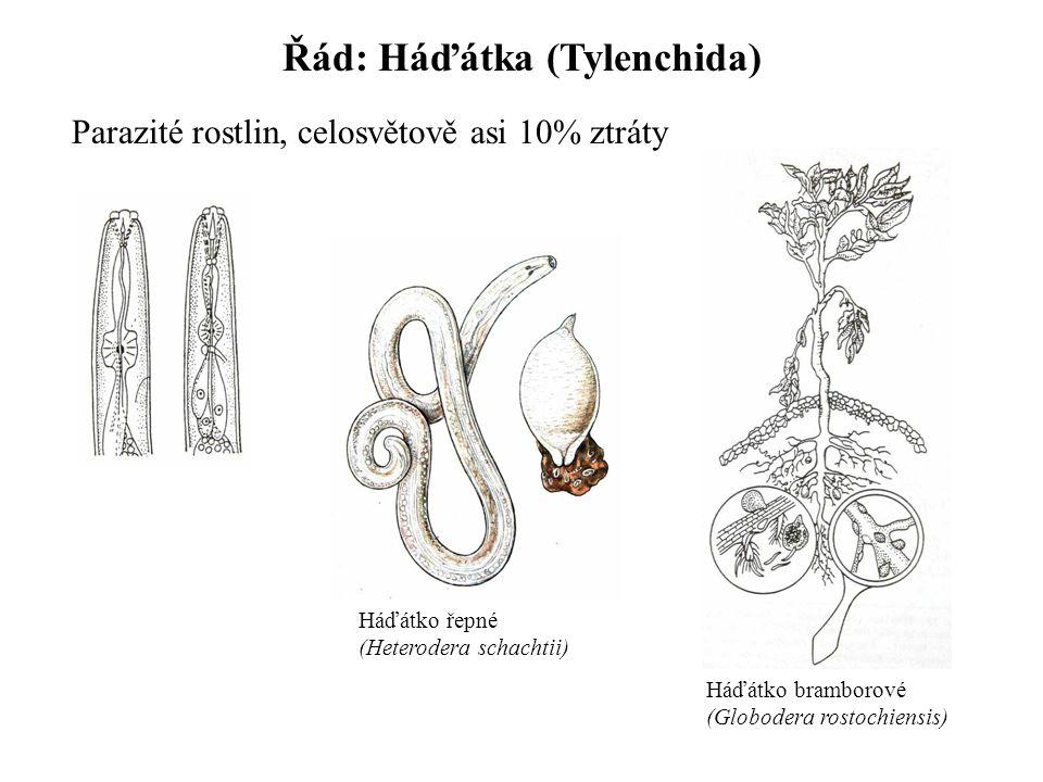 Řád: Háďátka (Tylenchida) Parazité rostlin, celosvětově asi 10% ztráty Háďátko řepné (Heterodera schachtii) Háďátko bramborové (Globodera rostochiensi