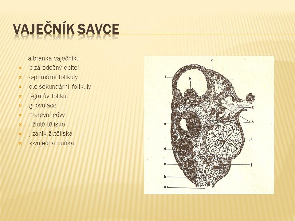 a-branka vaječníku  b-zárodečný epitel  c-primární folikuly  d,e-sekundární folikuly  f-grafův folikul  g- ovulace  h-krevní cévy  i-žluté tělí