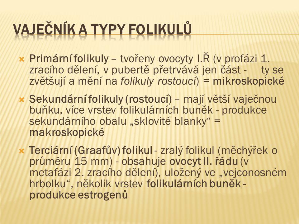  Primární folikuly – tvořeny ovocyty I.Ř (v profázi 1. zracího dělení, v pubertě přetrvává jen část - ty se zvětšují a mění na folikuly rostoucí) = m