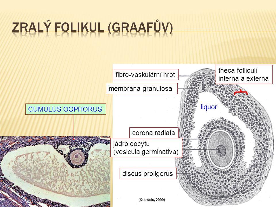 corona radiata jádro oocytu (vesicula germinativa) discus proligerus liquor membrana granulosa fibro-vaskulární hrot theca folliculi interna a externa