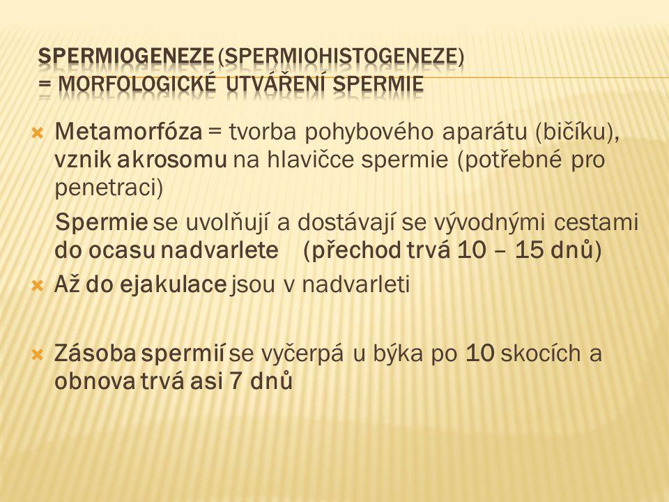  Metamorfóza = tvorba pohybového aparátu (bičíku), vznik akrosomu na hlavičce spermie (potřebné pro penetraci) Spermie se uvolňují a dostávají se výv