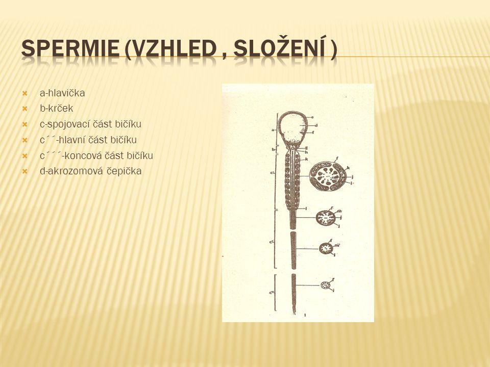  a-hlavička  b-krček  c-spojovací část bičíku  c´´-hlavní část bičíku  c´´´-koncová část bičíku  d-akrozomová čepička