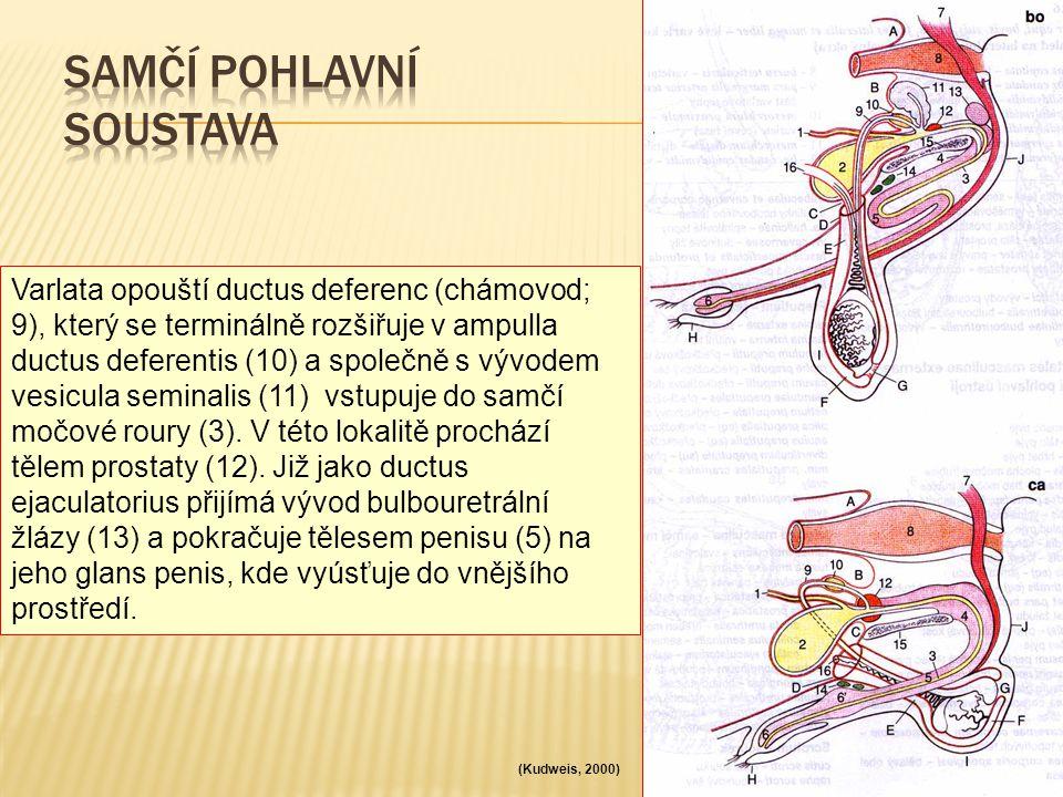 Varlata opouští ductus deferenc (chámovod; 9), který se terminálně rozšiřuje v ampulla ductus deferentis (10) a společně s vývodem vesicula seminalis