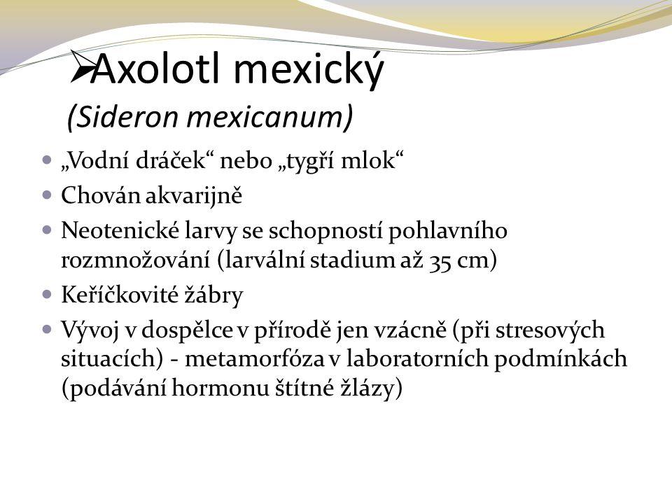 """ Axolotl mexický (Sideron mexicanum) """"Vodní dráček"""" nebo """"tygří mlok"""" Chován akvarijně Neotenické larvy se schopností pohlavního rozmnožování (larvál"""