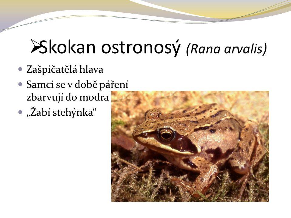 """ Skokan ostronosý (Rana arvalis) Zašpičatělá hlava Samci se v době páření zbarvují do modra """"Žabí stehýnka"""""""