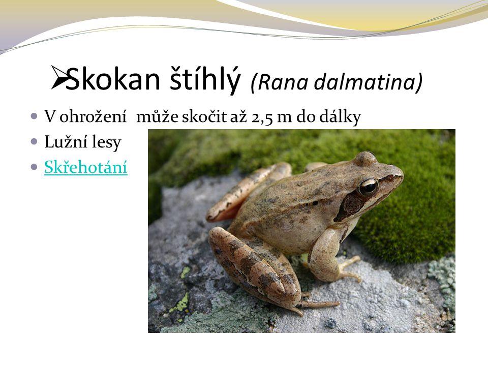  Skokan štíhlý (Rana dalmatina) V ohrožení může skočit až 2,5 m do dálky Lužní lesy Skřehotání