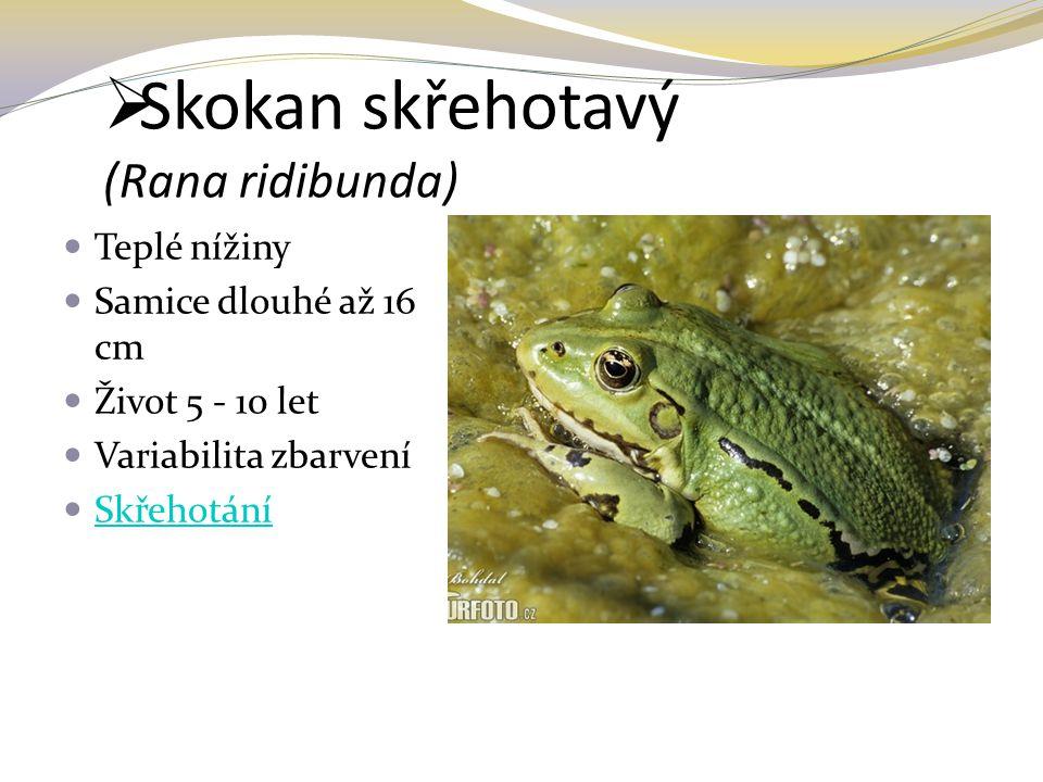  Skokan skřehotavý (Rana ridibunda) Teplé nížiny Samice dlouhé až 16 cm Život 5 - 10 let Variabilita zbarvení Skřehotání