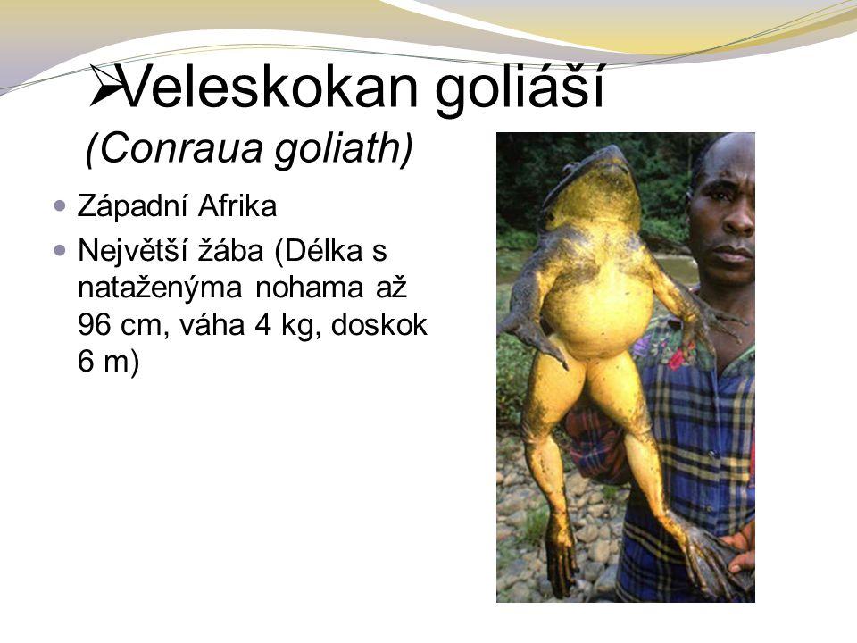 Veleskokan goliáší ( Conraua goliath ) Západní Afrika Největší žába (Délka s nataženýma nohama až 96 cm, váha 4 kg, doskok 6 m)